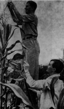 Професор С. М. Бугай і доцент Л. А. Головцов оглядають рослини сорту кукурудзи Уманська 19
